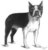 pencil portrait from photo boston terrier
